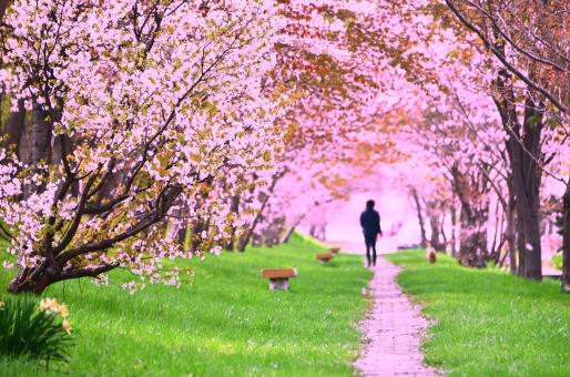 桜 サクラ さくら 櫻 SAKURA 犬の散歩 桜と女性 癒し 自然 風景 人 歩く