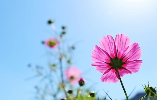 コスモス 秋桜 秋 初秋 花 花びら 蕾 ピンク ピンク色 濃いピンク pink 花言葉 青空 空 青い空 青い 青 青色 水色 空色 ブルー blue 晴れ 晴天 快晴 ハッキリ はっきり くっきり クッキリ すっきり スッキリ 自然 風景 景色 壁紙 背景 テクスチャ 素材 フレーム 可憐 優しい 愛らしい ひたむき 素朴 キレイ 綺麗 きれい かわいい 可愛い カワイイ