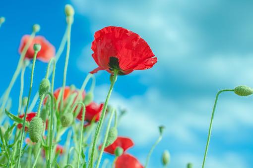 自然 植物 赤い 花 花びら つぼみ 葉 葉っぱ 緑 茎 成長 育つ 伸びる 鮮やか 綺麗 可愛い 美しい 空 雲 青い 白い 晴天 晴れ 天気 青空 アップ 無人 室外 屋外 風景 景色 満開 開花 開く 咲く 多い 沢山 集まる 密集 ローアングル ポピー 幻想的