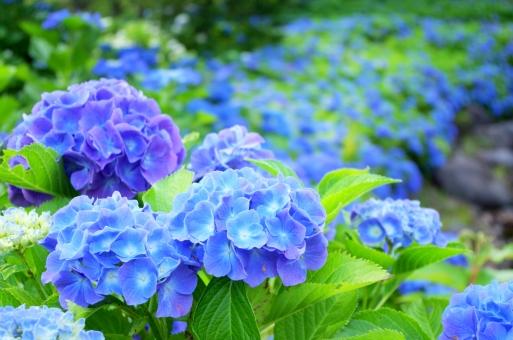 紫陽花 - No: 99956|写真素材なら「写真AC」無料(フリー)ダウンロードOK