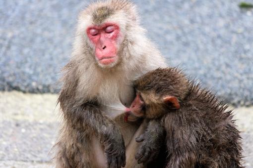 授乳 おっぱい お乳 母乳 育児 サル 猿 さる ニホンザル 親子 母子 ママ 母 ミルク 栄養 愛情 母性 本能 粉ミルク tvcm禁止 医学的 乳児 親離れ 子離れ 哺乳類 人間 赤ちゃん お母さん