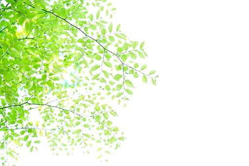 葉 緑 木 新緑 新芽 日本 木の葉 自然 植物 屋外 壁紙 背景 背景素材 バックグラウンド 光 青空 環境 エコ 木漏れ日 こもれび 枝 さわやか 爽やか 初夏 若葉 スペース テキストスペース