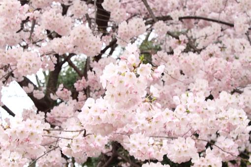 花 桜 花びら 桃色 和 枝 小枝 自然 背景 かわいい 美しい 春 日本 満開 きれい 上品 シンプル 清楚 可憐 生花 ピンク アップ 沢山 樹木 植物