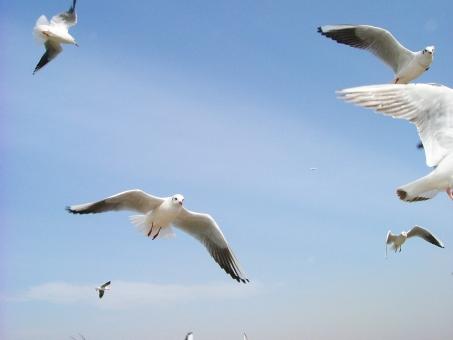 かもめ カモメ 群れ 空 青空 飛行 羽 翼 鳥