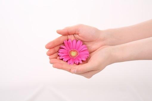 手 ハンド ハンドパーツ 人物 女性 背景 白 白背景 白バック 切り抜き パーツ ボディパーツ 腕 指 手首  肌 余白 シンプル コピースペース 両手 合わせる 重ねる 花 花びら 包み込む ガーベラ ピンク 包む 手のひら 愛情 優しい 差し出す 受け取る 受け止める フラワー 持つ