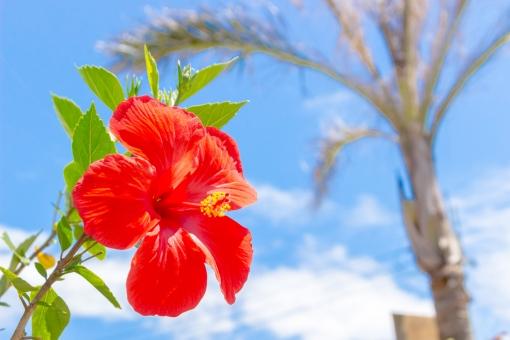 沖縄 おきなわ オキナワ okinawa 風景 花 黄色 植物 晴れ 自然 素材 自然素材 夏 南国 赤色 ハイビスカス