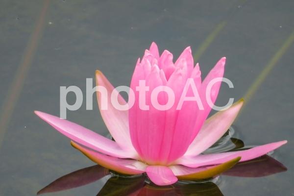 ピンクの池の花の写真