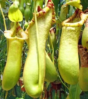 ウツボカズラ 食虫植物 東南アジア マダガスカル 消化 消化酵素 捕虫袋 自然 理科 理科教材 植物