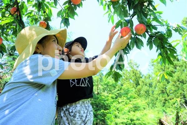 桃狩りをする親子の写真