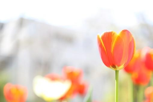 花 お花 春 フラワー 背景 植物 バックグラウンド きれい 背景素材 花畑 ガーデニング 咲く 園芸 花壇 チューリップ 赤 赤色  明るい きれい