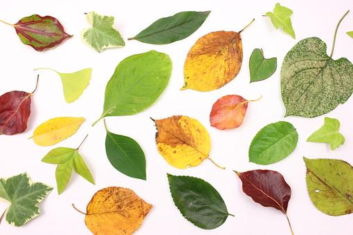 葉っぱのコレクション8の写真