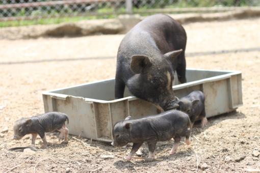 ブタ 豚 親子 黒豚 黒ブタ 仔豚 子ブタ 仔ブタ 子豚 水浴び 牧場 動物