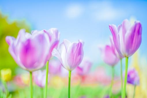 自然 植物 花 花びら 春 アップ ピンク色 桃色 黄色 赤 茎 緑 群生 ピンボケ ぼやける 可愛い 鮮やか 綺麗 華やか 爽やか チューリップ 春 景色 風景 満開 咲く 開く 成長 育つ 多い 密集 集まる 見物 屋外 室外 観光地 無人 空 雲 青空 カラフル 幻想的