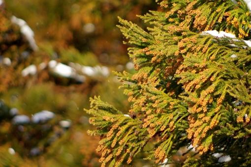 杉林 山林 山 樹木 植物 緑 花粉 スギ花粉症 杉花粉 花粉アレルギー アレルゲン 冬 春 花粉症 雄花 風媒花