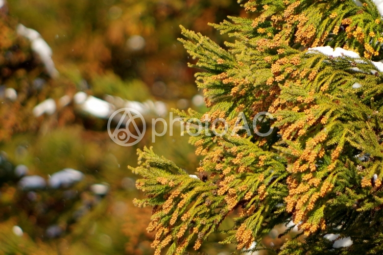 杉花粉の写真