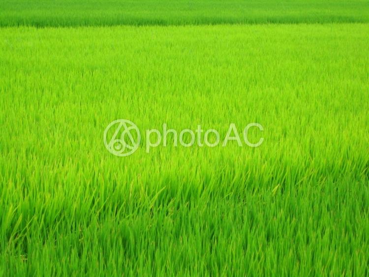 水田の写真