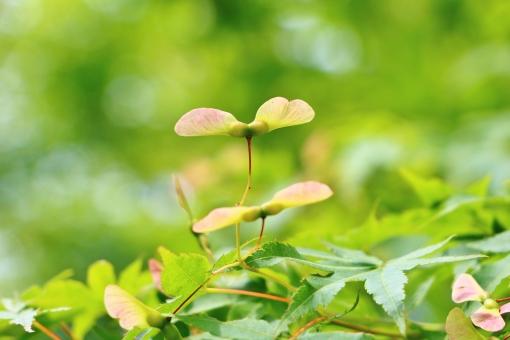 一羽 もみじ モミジ 椛 種 実 プロペラ 飛ぶ 植物 公園 初夏 キレイ 綺麗 きれい 可愛い かわいい ピンク ピンク色 羽 羽根 グリーン 爽やか 涼しさ 涼 緑 緑色 自然 風景 景色 背景 壁紙 テクスチャ 素材 重なり 葉 葉っぱ もみじの葉 モミジの葉 たくさん 密集 春色 夏色 彩り 和 和風 一羽