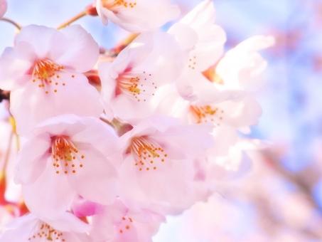 桜 桜の花 春 お花見 さくら サクラ 花 植物 ピンク 晴れ 屋外 3月 4月 卒業 入学 新生活 和風 日本 自然 花のアップ 日向 小春日和 和の花 イメージ バック 背景 バックグラウンド