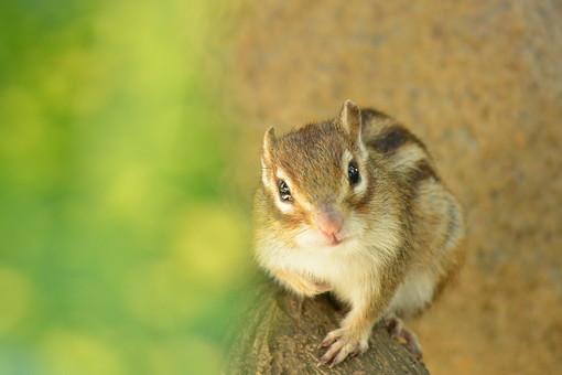 シベリア 鼠