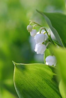 鈴蘭 すずらん スズラン 春 白 白い花 可憐 可愛い 植物 自然 ガーデニング 4月 5月 五月 初夏 緑 葉 葉っぱ 壁紙 花 背景 背景素材 明るい