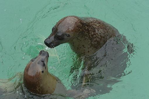 あしか アシカ 海驢 オットセイ アシカショー 自然 環境 生き物 生物 動物 水族館 動物園 水辺 水 海 海洋生物 水生 哺乳類 脊椎動物 プール 水中 仲良し 遊ぶ 会話 見つめる 向かい合う