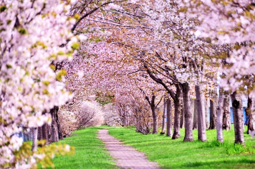 桜トンネル2の写真