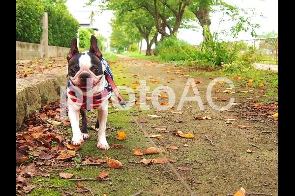 犬 秋のお散歩の写真