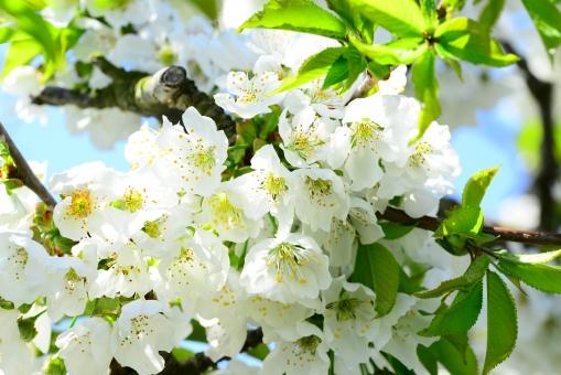 花 自然 植物 風景 見上げる 小花 やさしい さくらんぼ サクランボ さくらんぼの花 サクランボの花 果樹園 果物 フル-ツ かわいい 白 白い花 青空 晴れ 野外 さくらんぼの木 木 果樹 農業 手入れ 花吹雪 アップ マクロ