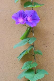 朝 蔓 つる 爽やか 鮮やか 夏の朝 夏休み 観察 朝顔 アサガオ 青 青紫 紫 紫色 ピンク 夏 植物 花 空 太陽 縦