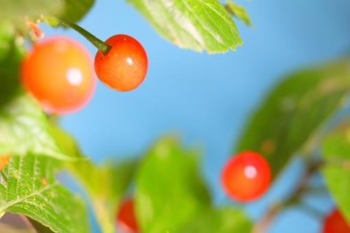 さくらんぼ サクランボ 植物 果実 木の実 園芸 甘酸っぱい 春 初夏 夏 空 横位置 余白 テクスチャ 桜 樹木
