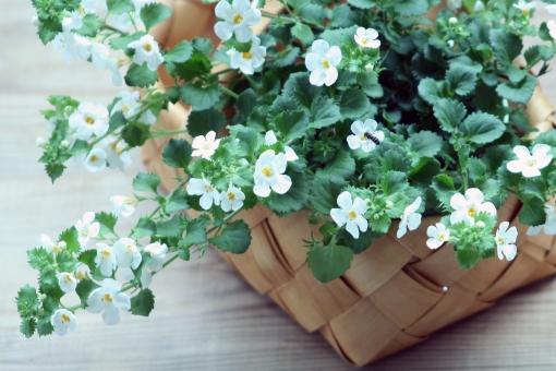バコパ 白い花 花 白 ハーブ グリーン バスケット かご 北欧 植物 ハーブ アーユルヴェーダ