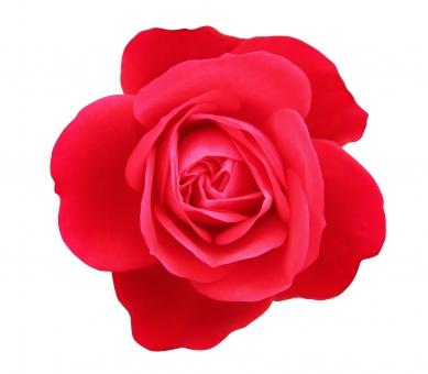 赤いバラに関する写真写真素材なら写真ac無料フリー
