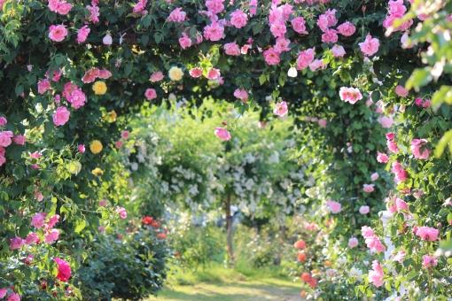 福島市 佐藤梨園 バラ 薔薇 ばら アーチ ピンクの花 ローズ ローズガーデン 背景 壁紙 トンネル ブライダル 枠 飾り枠 バラ園 庭 結婚式 結婚