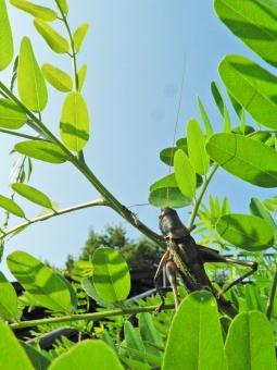 トノサマ 殿様 草原 春 夏 夏休み 観察 草むら 雑草 理科 青空 昆虫 虫 ムシ 緑 グリーン 生物 ばった バッタ