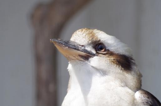 鳥 ワライカワセミ カワセミ 前向き ポジティブ