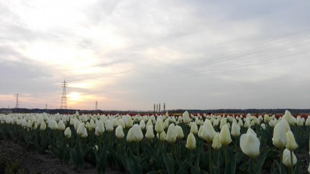 テクスチャ 背景 夕日 夕焼け 太陽 電線 鉄塔 木 緑 グリーン 葉 花 植物 空 雲 夕方 自然 風景 日本 チューリップ ちゅーりっぷ 広場 散歩 屋外 外 曇り 田舎 いなか 綺麗 素敵 カラフル いろどり 明るい 可愛い