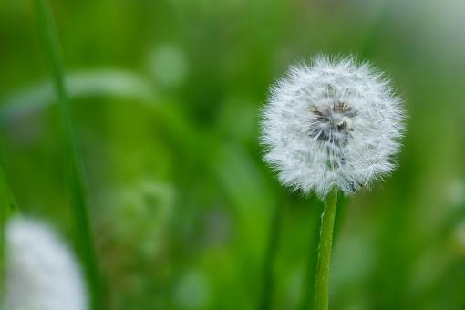 自然・風景 植物 たんぽぽの綿毛 種子 タンポポ グリーンバック 春景色 季節の変わり目 新緑 若葉 新芽の季節 春 待ち受け画面 ポストカード コピースペース 背景 野外アウトドア 野原 野山 森・林・公園 綿毛 バックグランド バックスペース 旅立つ 風に乗って