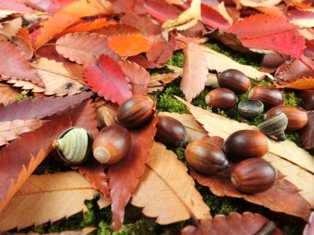 どんぐり ドングリ 落ち葉 葉 枯葉 枯れ葉 木 紅葉 木の実 秋 冬 11月 10月 遠足 思い出 休日 遊ぶ 公園 小さい秋 帽子 ギザギザ 背景 足元 癒し リラックス 工作 一面 かさかさ カサカサ 乾燥