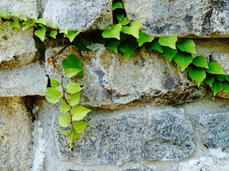 石壁 石垣 壁 蔦 ツタ 緑 灰色 黒 植物 背景 庭 ガーデン 洋風