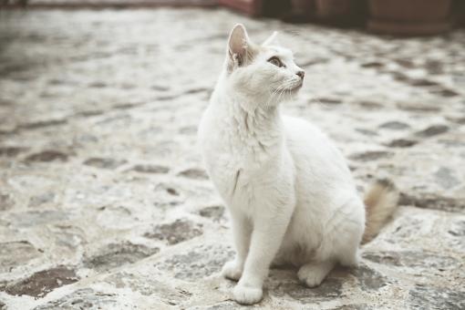 外国 海外 ヨーロッパ ギリシャ エーゲ海  地中海 サントリーニ島 屋外 外 旅行  観光 動物 生き物 ネコ 猫 ねこ 1匹 街角 佇む 風景 全身 振り向く 無人 石畳 アップ