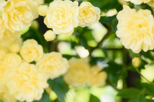 薔薇 バラ ばら モッコウバラ 黄色 淡い 花 植物 つる つる性 低木 庭 ガーデニング フレーム テクスッチャ 背景 バックグラウンド 文字スペース コピースペース 淡い黄色 明るい 光 春 春の花 エレガント 蔓薔薇 ツルバラ つるばら