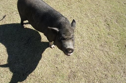 くろぶた 黒豚 ぶた ブタ 豚 子豚 養豚 家畜 動物 動物園 陸の哺乳類 ほ乳類 飼育 屋外 自然 生き物 景色 四つ足動物 脊柱動物 毛 毛並み 可愛い 体毛 顔 観察