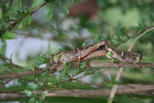 自然 風景 動物 昆虫 クルマバッタ 交尾 五色台 香川県
