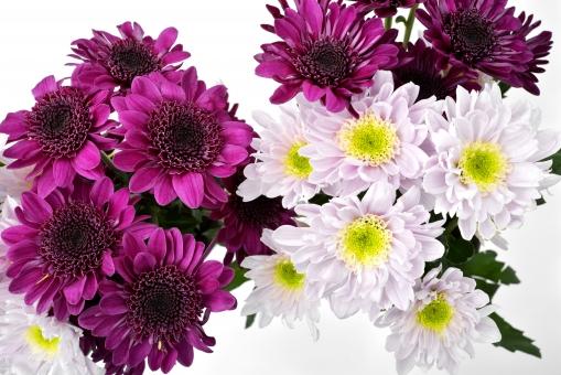 菊 花びら 花 植物 赤紫 白 ピンク 白バック 背景 キク