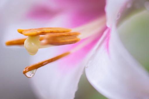 自然 植物 花 花びら 白 ピンク 桃色 黄色 めしべ おしべ 花粉 百合 ユリ ゆり みずみずしい 雨 雨粒 朝露 雫 水 水玉 玉 垂れる 落ちる 成長 育つ 満開 咲く 開く 透明 反射 光 多い 沢山 密集 集まる アップ ぼやける ピンボケ 無人 室外 屋外 風景 景色 幻想的