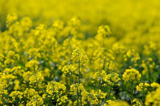 春 菜の花 花 黄色い花 花畑 自然 景色 風景 草花 空 青空 晴天 快晴 野生 自生 黄色 緑 鮮やか 植物 黄色 花びら 小さい 細かい 栽培 庭 ガーデニング 園芸