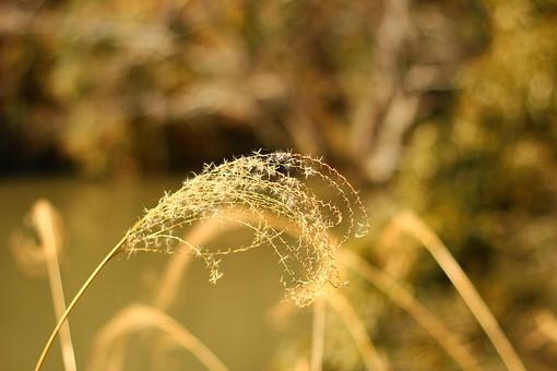 自然 植物 ススキ すすき 芒 秋 アップ 枯れる 茶色 無人 室外 屋外 風景 景色 秋の景色 秋の風景 四季 日本 和 月見 十五夜 細い アップ 葉 茎