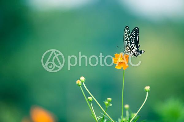 黄色い花と蝶々6の写真