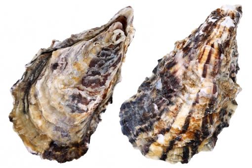 生牡蠣」に関する写真|写真素材...