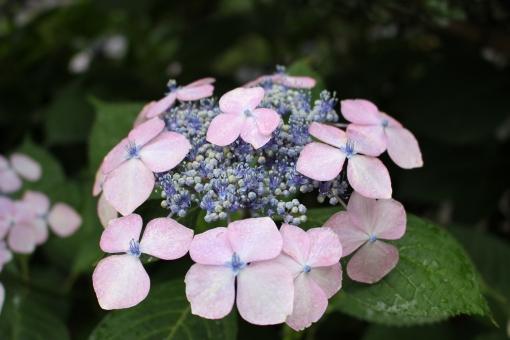 ガクアジサイ 額紫陽花 がくあじさい 紫陽花 アジサイ ホンアジサイ あじさい 6月の花 7月の花 花 梅雨の花 梅雨 植物